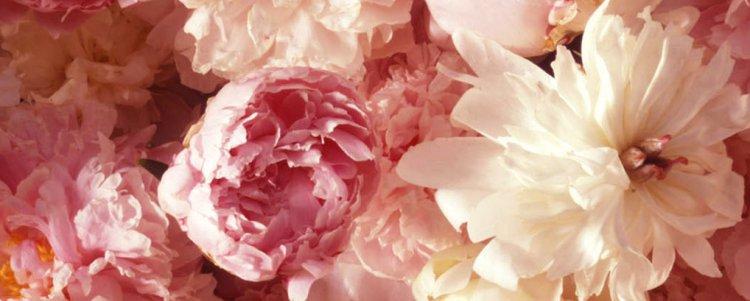 hayden-carnations